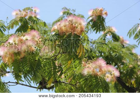 The branches of Albizia Julibrissin with flowers against the blue sky