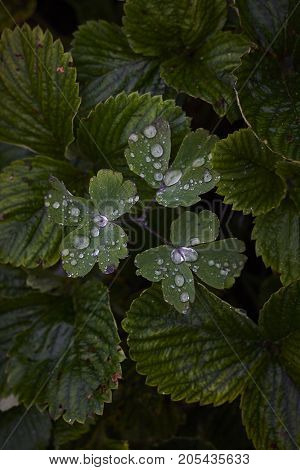 rain drop on strawberry Fragaria green wet plant leaves in dark background
