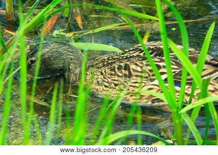 grey duck Gadwall swims in the bushes on the water