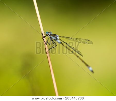 An Emerald Damselfly gripping onto a grass reed at the edge of a pond in a nature reserve in Cornwall UK