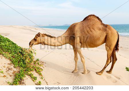 In Oman Empty Quarter Of Desert A Free Dromedary Near The  Sea