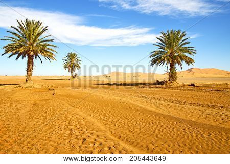 Palm In The  Desert Oasi Morocco Sahara Africa