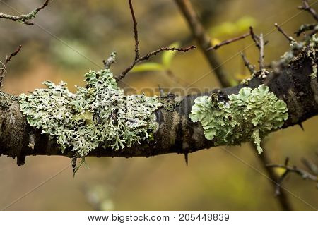 parasitism, botany, plants concept. thick branch of tree all covered with shingleses, that have fancy different forms and light green shades, they are growing on the tree like parasite