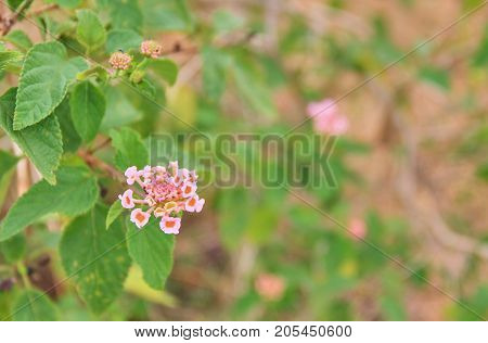 Beautiful Colorful Hedge Flower, Weeping Lantana, Lantana camara Linn.