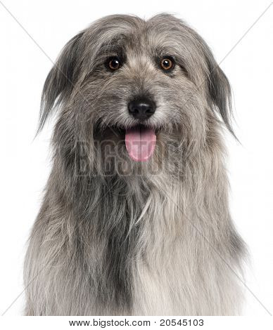 Close-up of Pyrenean Shepherd dog, 18 months old, in front of white background