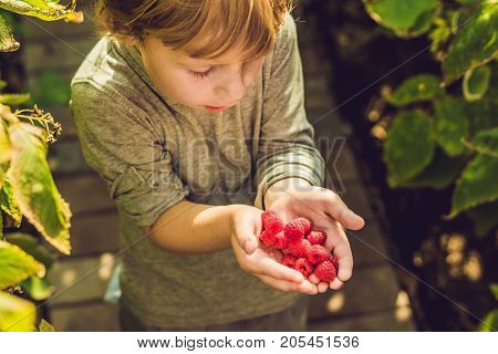Child Picking Raspberry. Kids Pick Fresh Fruit On Organic Raspberries Farm. Children Gardening And H