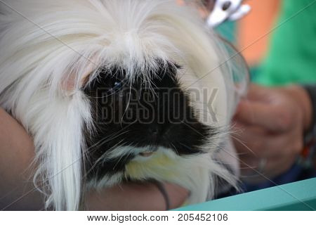close up of a black and white long haired guinea pig