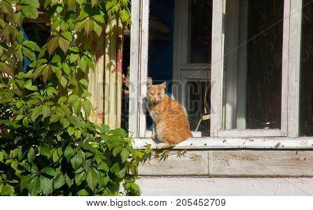 Red cat sitting on a window sill near a green bush