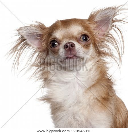 Close-up of Chihuahua in front of white background