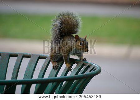 ground squirrels are the most common rodent found throughout the united states