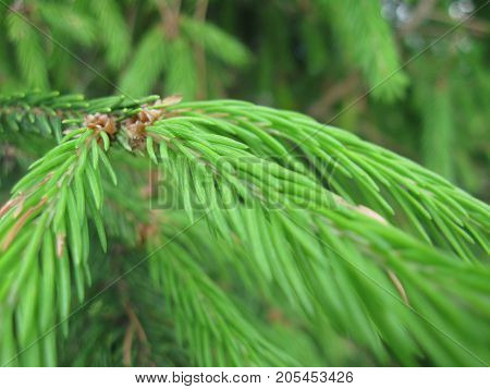 green needles of young spruce in macro