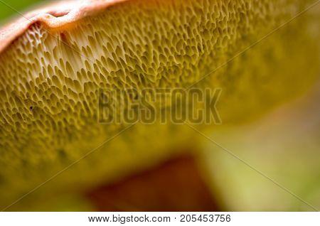lamellae pattern of a brown bay bolete mushroom