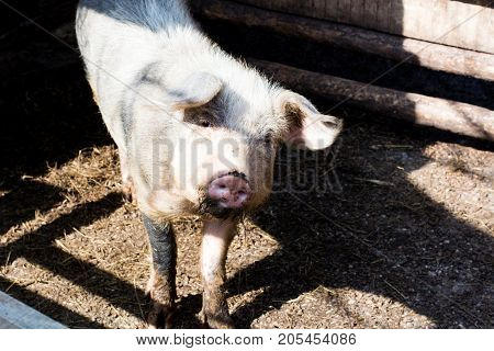 Pink Pig With Dirty Snout. Village Scene With Funny Pig. Big Domestic Animal. Cute Pig Portrait.