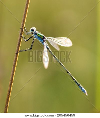 Emerald Damselfly holding onto a reed at the edge of a pond in a nature reserve Cornwall UK