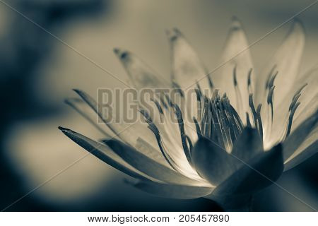 Beautiful Black And White Lotus Bloom, Macro