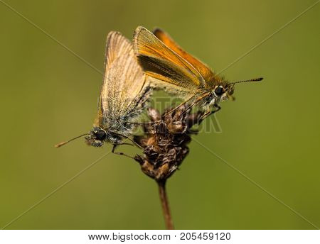 Male and female Small Skipper butterflies mating on a plant in a nature reserve in Cornwall, UK