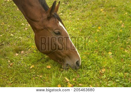 Horse eating grass on an autumn day close-up