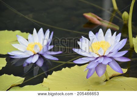 Beautiful Lily Flower on a Lily Pad