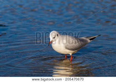 Close-up of a beautiful Seagull in the Water. View on a standing Seabird on a sunny Day. Gulls at the Lake.  Nature and Wildlife Background