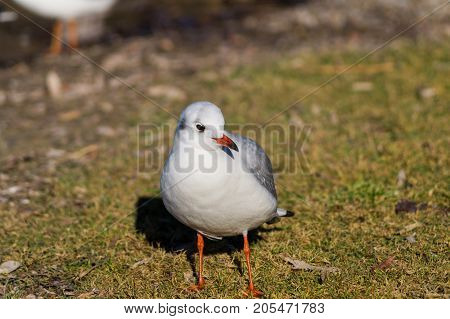 Close-up of a beautiful Seagull on a Meadow. View on a standing Seabird on a sunny Day. Gulls at the Lake.  Nature and Wildlife Background