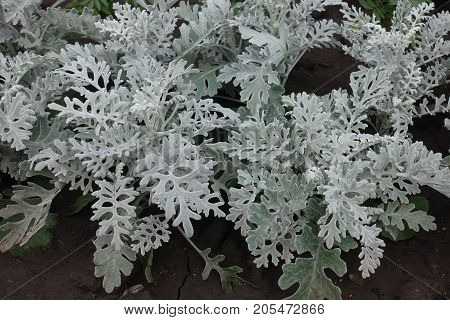 Small Subshrubs Of Dusty Miller From Above