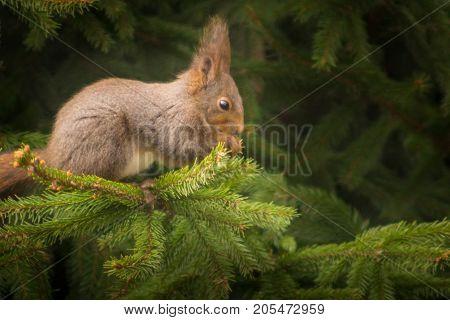 Cute squirrel sitting on a spruce branch