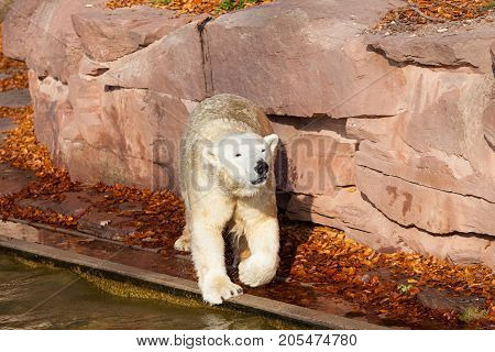 Polar bear Ursus maritimus in Nuremberg zoo.