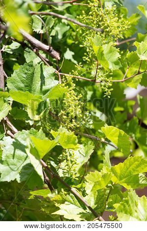 young branches of grapes . In the park in nature