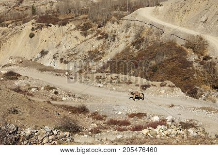 horse on the mountain road, Mustang, Nepal
