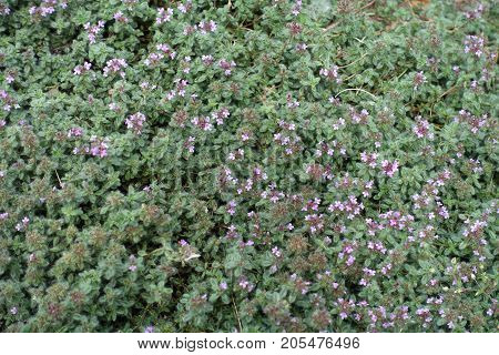Thymus Praecox With Small Pink Flower Heads