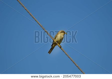sparrow posing on a wire with a cricket in its beak Maleme in the north west of the island of Crete in Greece