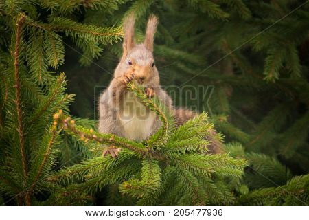 Cute squirrel eating of a spruce branch