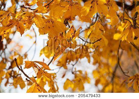 Golden autumn chestnut leaves on the tree.