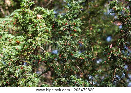 branch of yew tree with toxic berries
