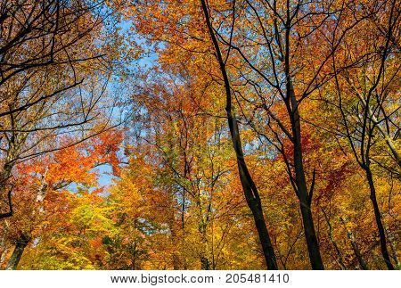 Golden Foliage On Trees Against Blue Sky