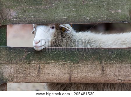 sheep stuck her head through the fence and looks