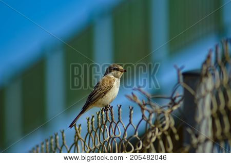 sparrow posing on a fence of Maleme in the north west of the island of Crete in Greece