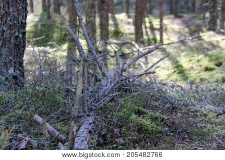 Broken tree in wood. Branches of broken trees in the forest