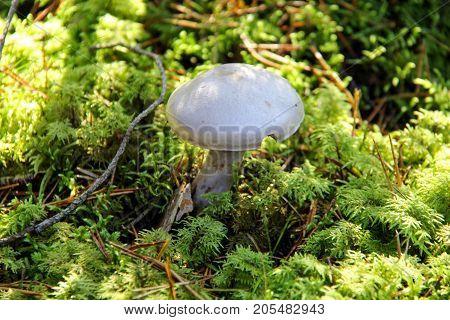 Mushroom. A large mushroom. A beautiful mushroom in the forest. Mushroom in the moss.