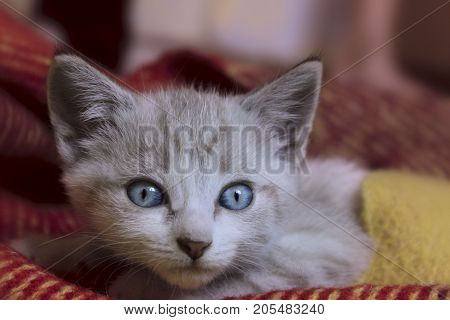 Cropped shot of Cute little kitten with blue eyes. Cute Kitten Lying.