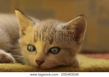 Cropped shot of Cute little kitten with blue eyes. Cute Kitten Lying.