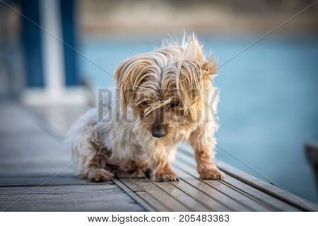 lovely dog looking down. Isolated blurred background. Doggy hairy ears, Yorkshire Terrier brown.
