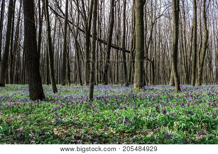 Forest with corydalis flowers spring landscape tree