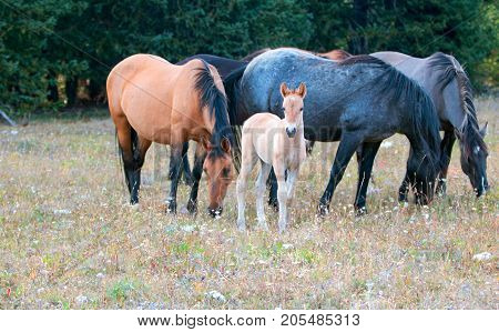 Wild Horses - Baby foal colt with mother and herd (band) in the Pryor Mountains Wild Horse Range on the border of Montana and Wyoming United States