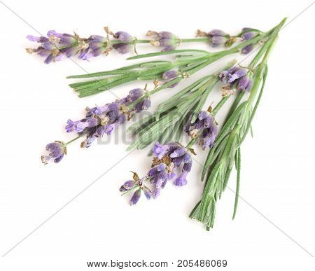 Twig of lavender with leaves isolated on a white background.