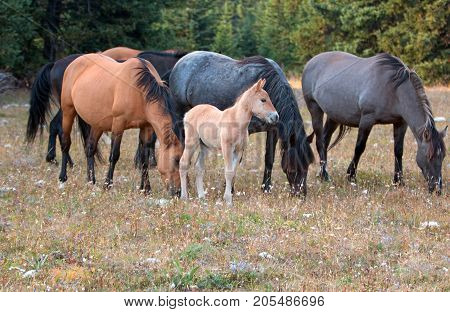Wild Horses - Baby foal colt (dun coloring) with mother and herd (band) in the Pryor Mountains Wild Horse Range on the border of Montana and Wyoming United States