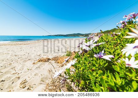 Flowers and sand in Le Bombarde beach Sardinia
