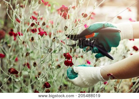 Hands in gloves using hedge shears while pruning bushes of decorative plant with red flowers. Unrecognizable male or female gardener working in greenhouse trimming shrubs with gardening tools