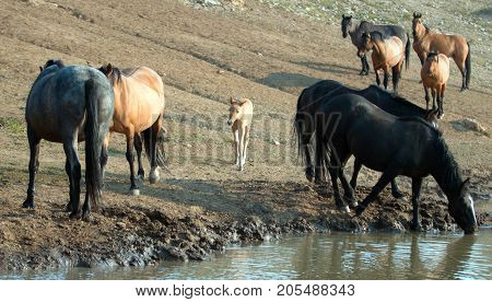 Wild Horse - Baby foal colt (dun coloring) with mother and herd at the watering hole in the Pryor Mountains Wild Horse Range on the border of Montana and Wyoming United States