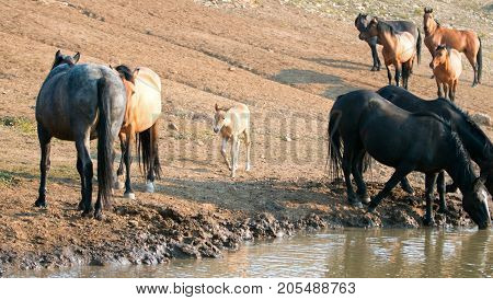 Wild Horse Mustangs - Baby foal colt (dun coloring) with mother and herd (band) at the watering hole in the Pryor Mountains Wild Horse Range on the border of Montana and Wyoming United States